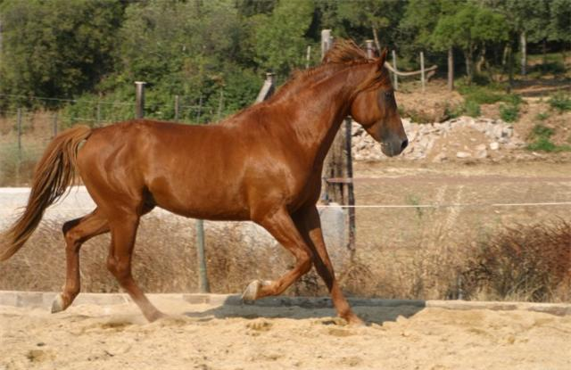 cheval arabe alezan