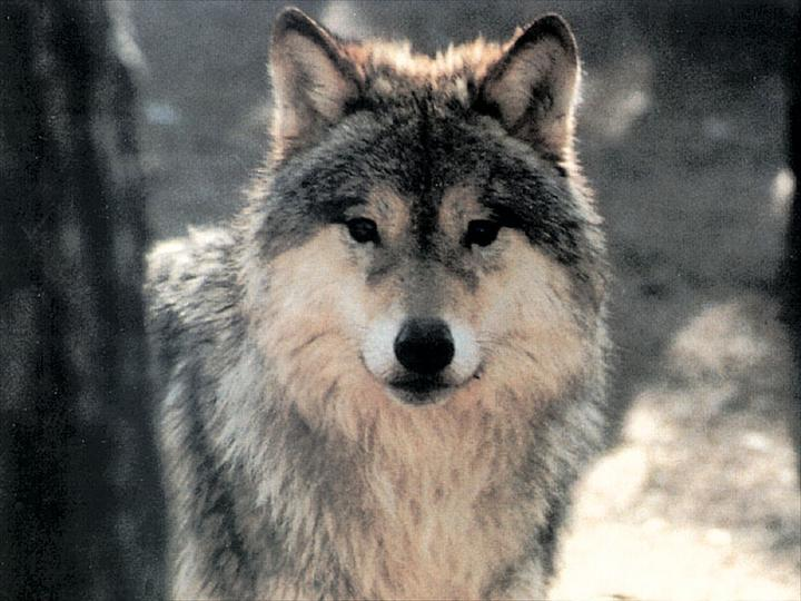 PETITIONS REGROUPEES : Sauvons les loups (USA) !!! - Bambou254