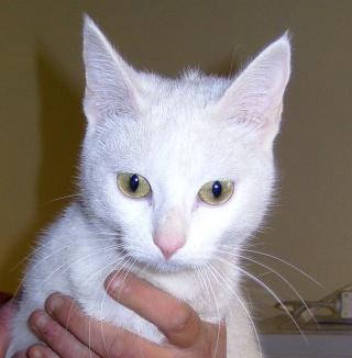 yalta magnifique chatte toute blanche l 39 essai. Black Bedroom Furniture Sets. Home Design Ideas