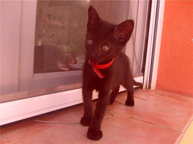 Tres Gatitos Siameses Y Otro Gatito Negro En Adopción Valencia Adopciones Gatos Foromascotas