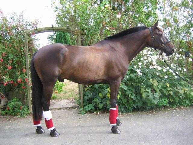 Cheval trotteur à vendre - Tout sur le cheval