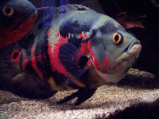 astrofish