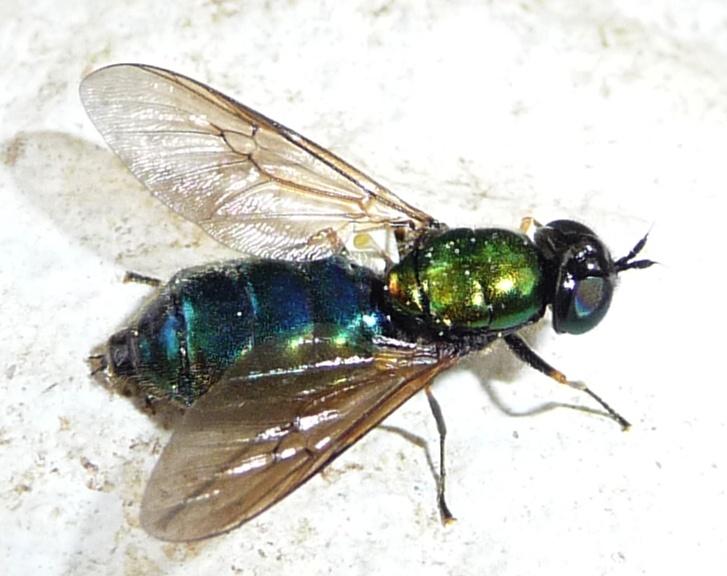 chloromyia formosa mouche verte et bleue le monde des insectes