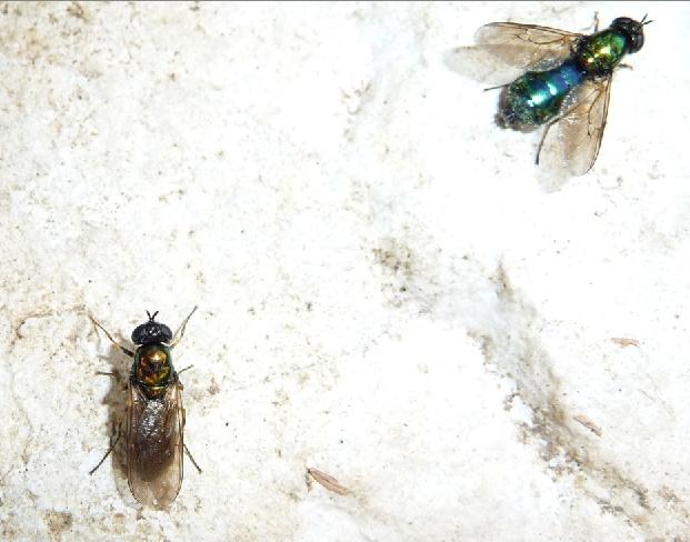 Chloromyia formosa mouche verte et bleue le monde des insectes - Invasion de mouches vertes ...