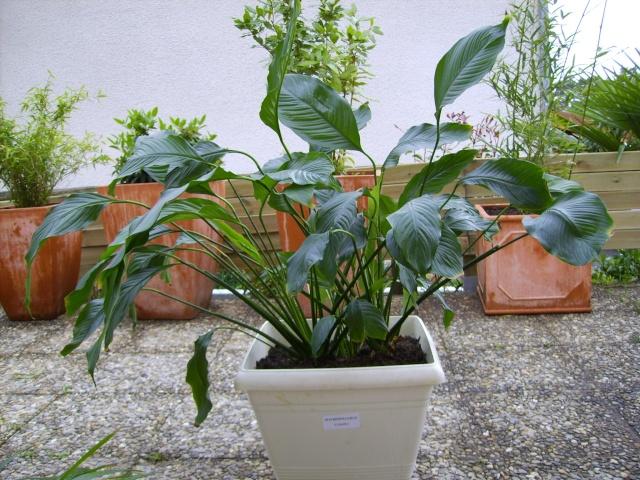 Mes plantes vertes fleur de lys for Plantes vertes a fleurs