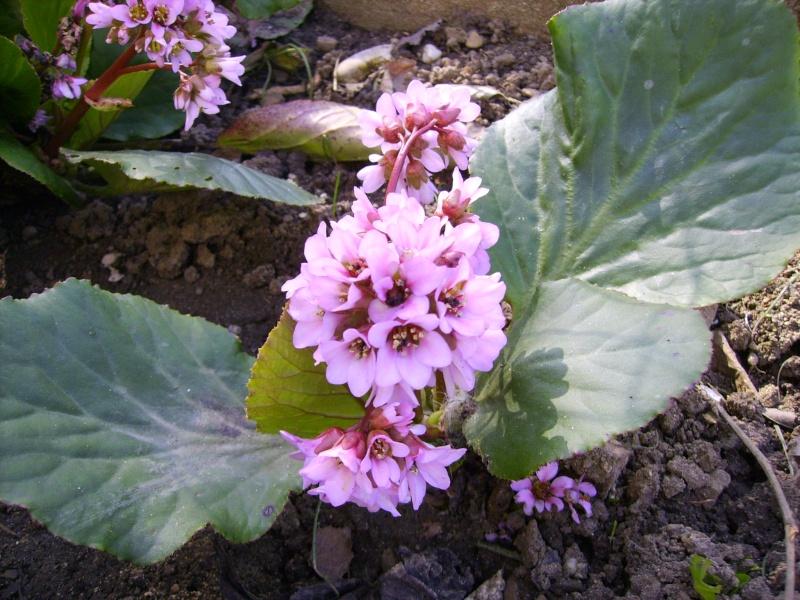 Les plantes vivaces de mon jardin fleur de lys for Les plantes vivaces