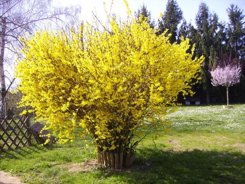 Mes arbres et arbustes de la maison for Arbustes de jardin