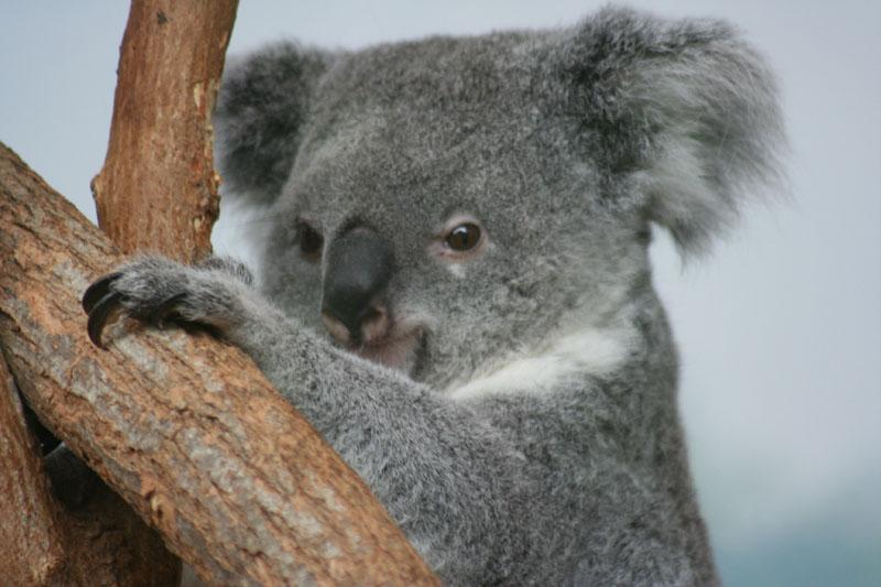 koala_11