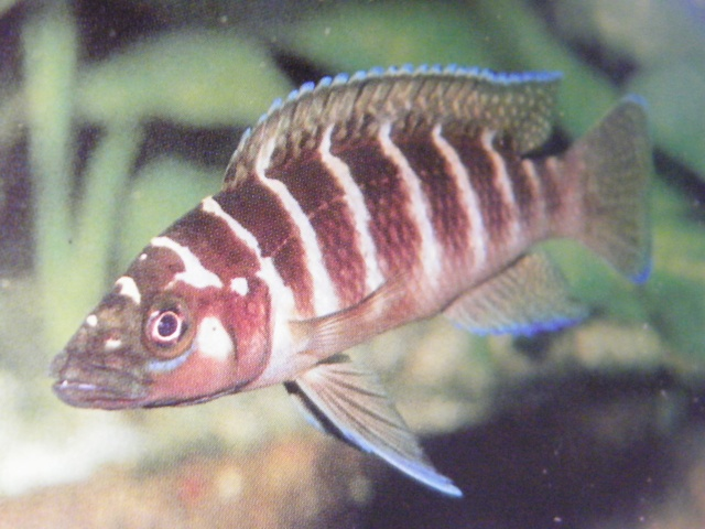 Neolamprologus Cylindricus SPECIES PROFILE...