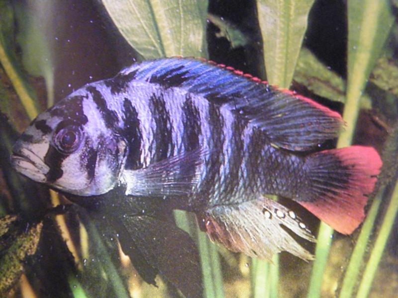 goldfish tank mates. tank mates and to females.