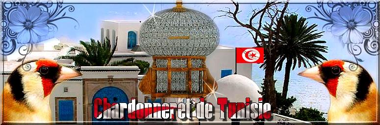 Chardonneret de Tunisie