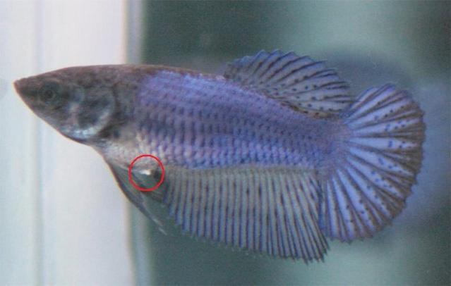 poisson combatant quand mettre une femelle