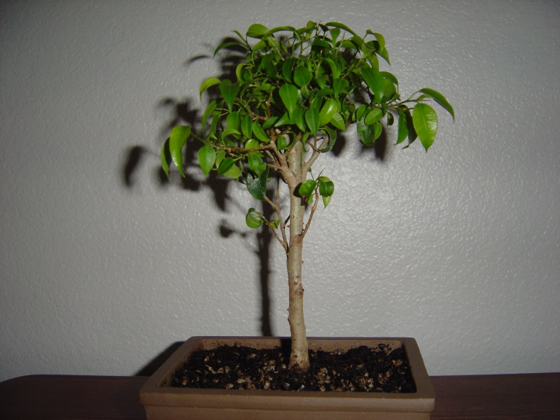 pin ficus benjamina bonsai image search results on pinterest. Black Bedroom Furniture Sets. Home Design Ideas