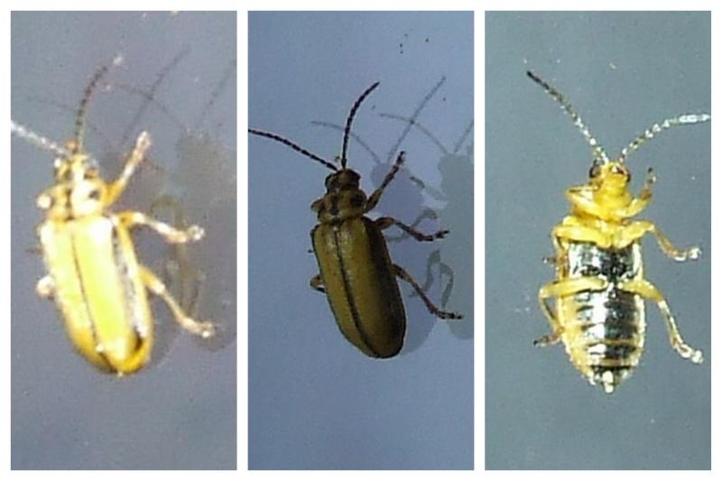 galerucinae insecte inconnu montpellier 18 08 2009 le monde des insectes. Black Bedroom Furniture Sets. Home Design Ideas